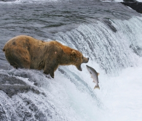 How to Find a Bear in Alaska: Katmai National Park