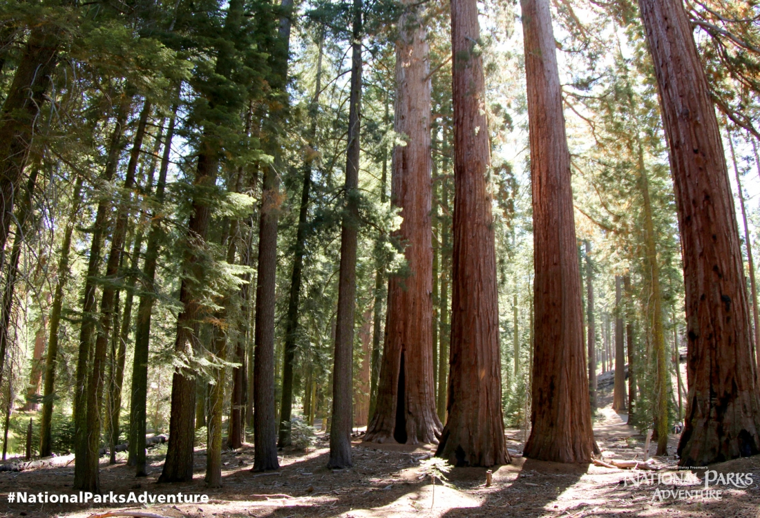 Sequoias in Yosemite National Park